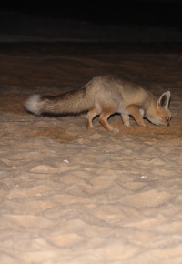 egypt_fennec_fox_3