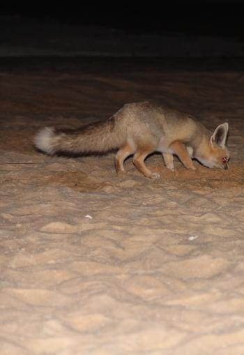 egypt_fennec_fox_3
