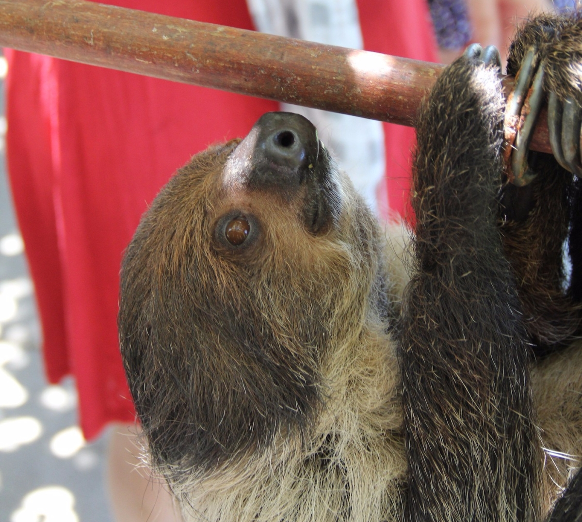 It's Surprisingly Easy To Get A Sloth To Come To Your House