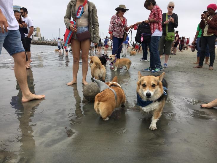 corgi_beach_day_21