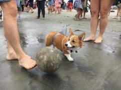 corgi_beach_day_22