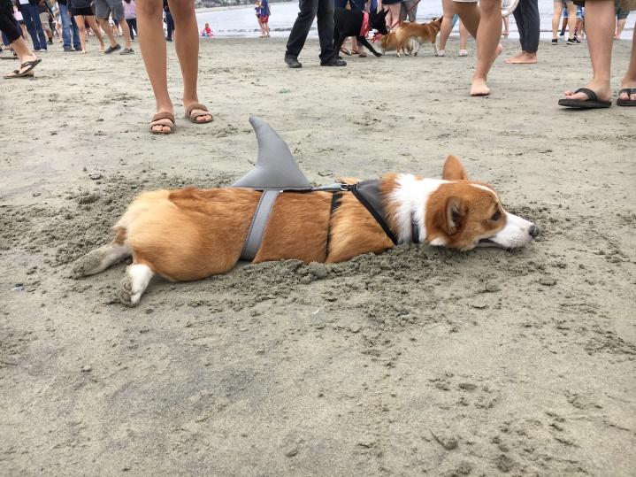 corgi_beach_day_24