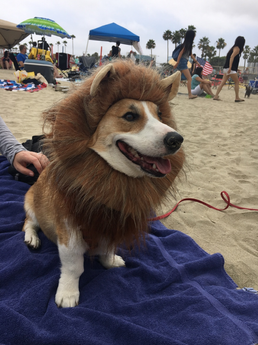 corgi_beach_day_39