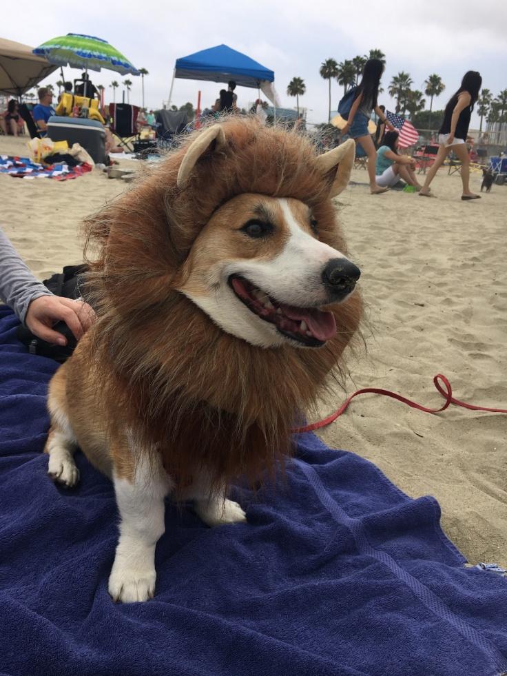 corgi_beach_day_39