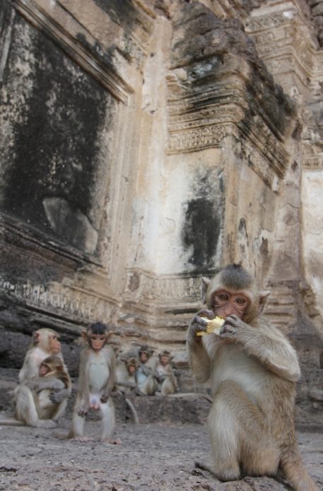 Lopburi_Monkeys_10