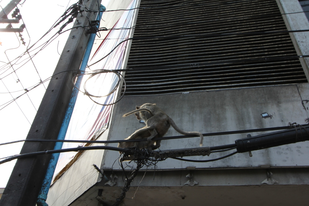 Lopburi Monkeys