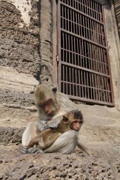 Lopburi_Monkeys_96