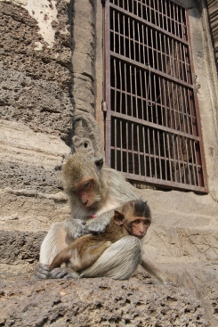 Lopburi_Monkeys_96