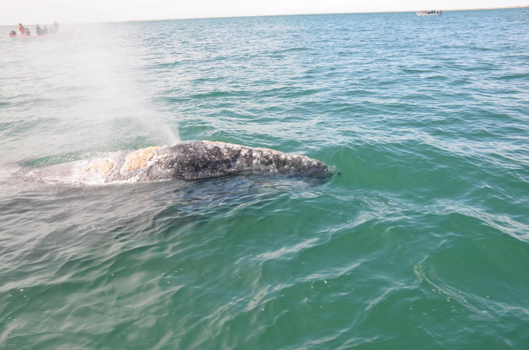 Gray_Whales_Mexico_1