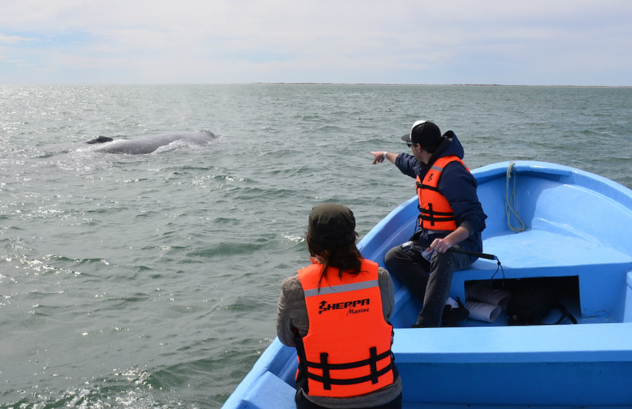 Gray_Whales_Mexico_16c