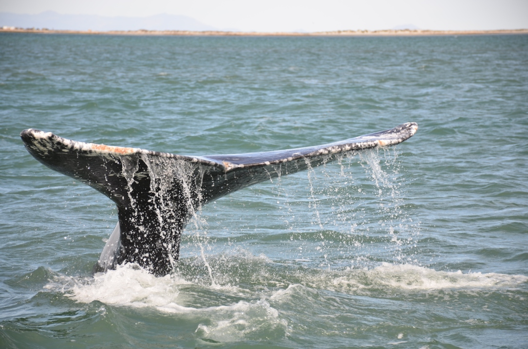 Gray_Whales_Mexico_19