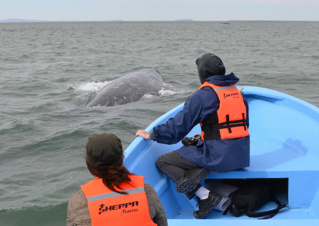 Gray_Whales_Mexico_24c