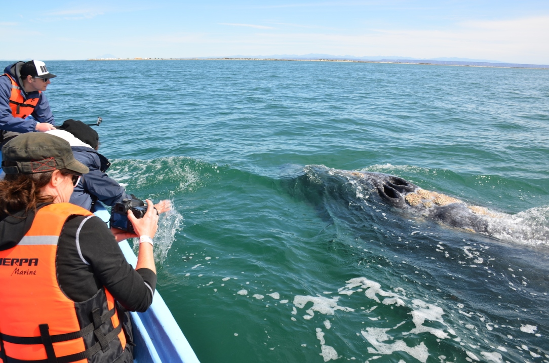 Gray_Whales_Mexico_3