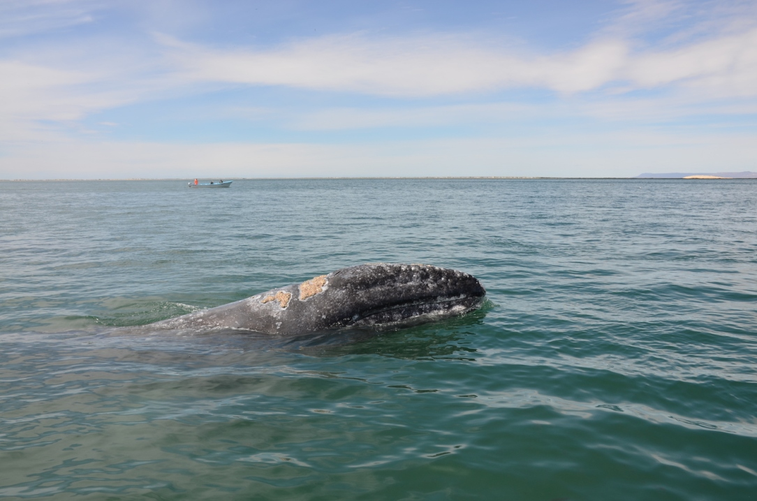 Gray_Whales_Mexico_7