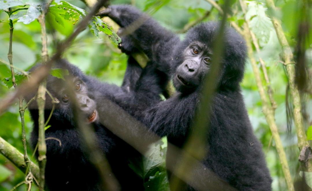 Gorilla Habituation Experience Uganda